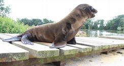 Riley the Sea Lion Pup at Longleat