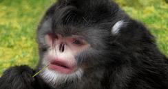 Monkey That Sneezes When Raining