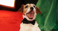 Uggie on the red carpet