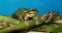 Maurice the green tree frog