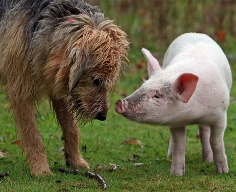 A dog and a pig touching noses