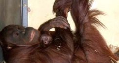 Paignton zoo's BABY ORANG UTAN