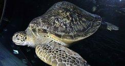 Ali turtle diving belt Weymouth swim