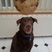 Image 8: Chocolate labrador begging for cookie