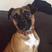 Image 9: Boxer puppy