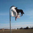 Border Collie balancing on a basketball hoop