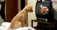 Dog watching TV