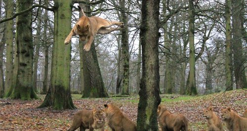 Lions of Longleat