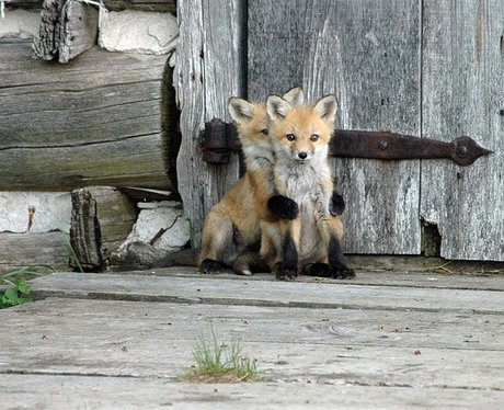 A fox hides behind another fox