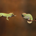Image 10: A chameleon reaching for another chameleon