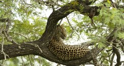 Leopard relaxing in a tree