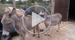 Donkeys and goats playing