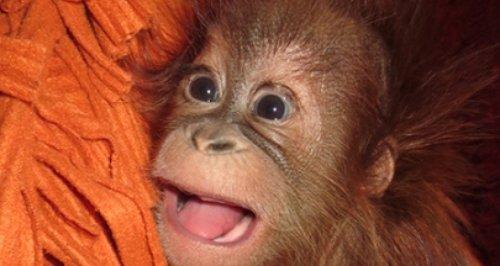 Monkey World orangutan Bulu Mata