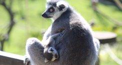Lemur At Whipsnade 2
