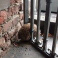 Hedgehog Stuck in Gate