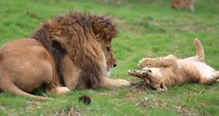 Lion Cub and Male