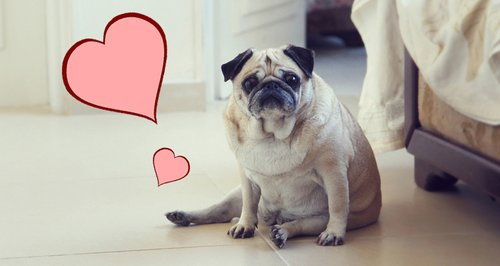 Pet pug with hearts dog animals