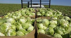 iceberg lettuce harvest