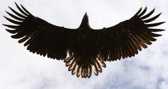 Eagle in Scotland