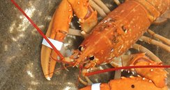 Rare Anglesey lobster